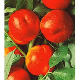Andosa nektarina, g.k.